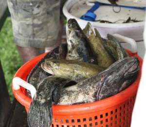 Bukket of Snakeheads at weigh-in