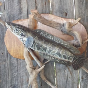 cropped-snakehead-mount.jpg