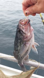 A nice 2-3lb Blue Rock Cod caught off Caramel, California on live squid.